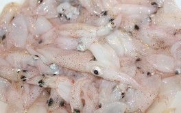 Baby squid