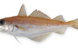 Baby cod