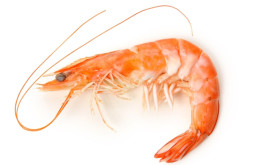 Baby shrimps
