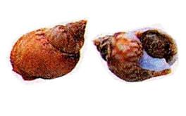 "Sea snails or ""maruzzelle"""